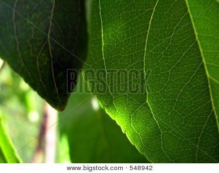 Leaves In Shadow