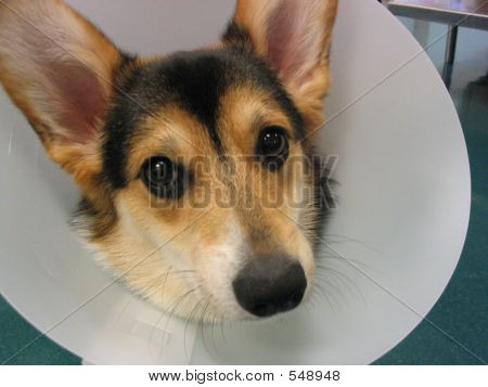a corgi puppy wearing an elizabethan collar, or cone after a veterinary procedure. poster