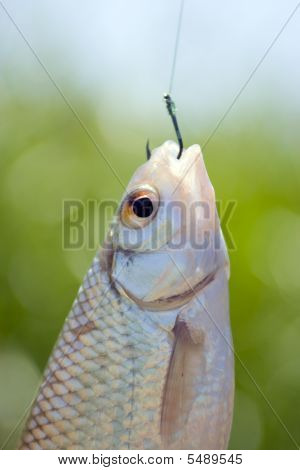 Fish Caught On A Hook
