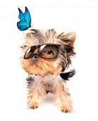 baby dog with fashion shades and blue butterfly on a white background poster