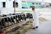 Boy in white robe works by hayfork near stall with calves in farm. poster