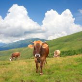 funny cows on green mountain pasture on nice day poster