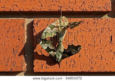 Moths mating on a brick wall