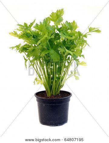 Celery In Pot Over White