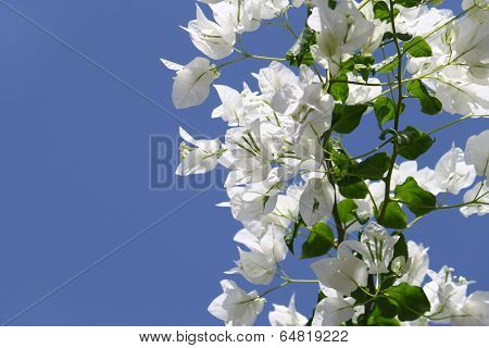 White Blooming Bougainvilleas
