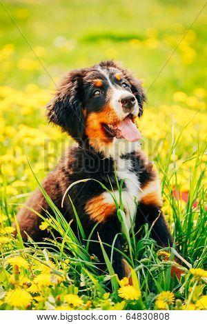 Bernese Mountain Dog (berner Sennenhund) Puppy