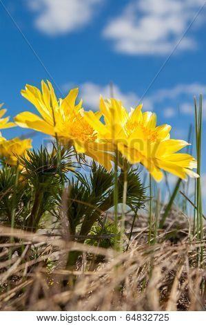 Yellow Flowers Of Adonis