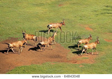 Aerial view of red hartebeest antelopes (Alcelaphus buselaphus) in grassland, South Africa