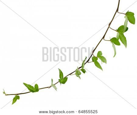 Green ivy plant close up isolated on white background