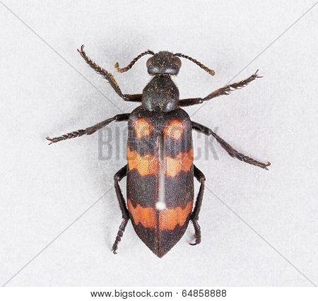 Blister Beetles - Mylabris Phalerata