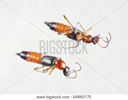 Rove Beetles Or Paederus Fuscipes
