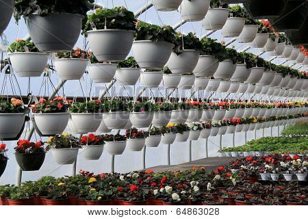 Rows of hanging plants