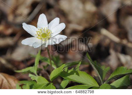 Wood Anemone White Forest Wildflower
