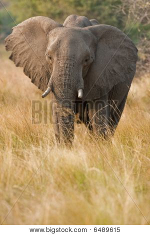 Portrait of a wild elephant in southern Africa. poster