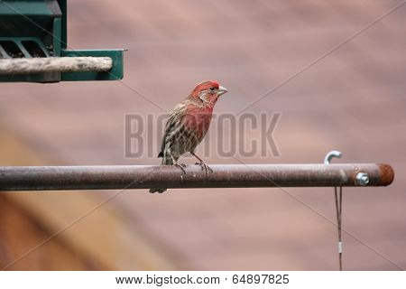House Finch on Feeder Arm
