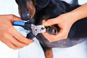Woman veterinarian is trimming dog dachshund nails poster