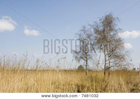 Birches In Landscape