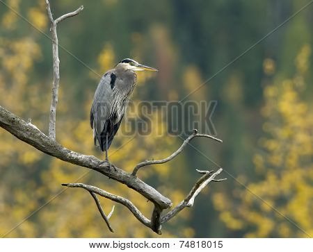 Portrait Of Heron On Branch.