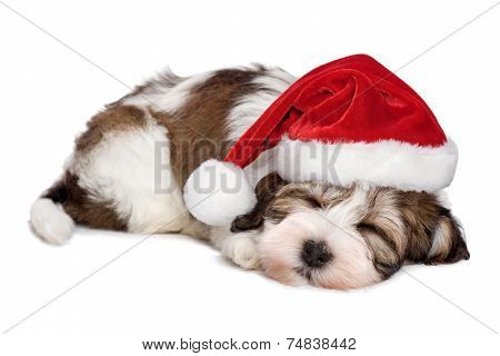 Cute Sleeping Havanese Puppy Dog Is Dreaming About Christmas