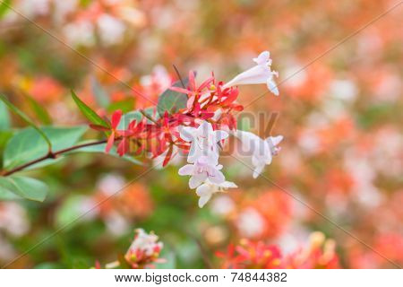 Close up view of Abelia flowers