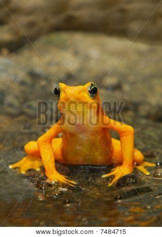 A Panamangian Frog