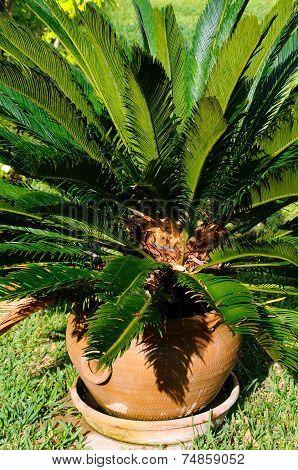 Japanese Sago Palm.