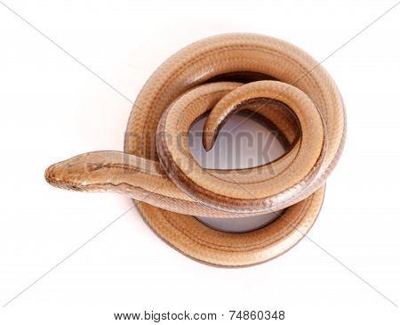 Slow Worm Or Legless Lizard