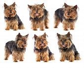 Photo Sequence of a nice dog yorkshire poster