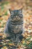 Gray Cat homeless sad emotions Outdoor Lifestyle and helping concept autumn leaves on background poster