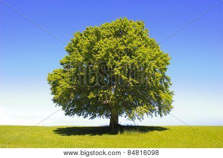 single big old beech tree