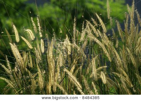 Reed - thatch