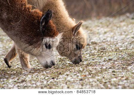 Alpaca (vicugna Pacos)