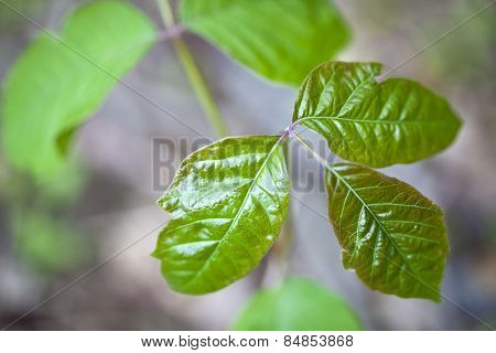 Close up detail of poison ivy in a natural setting
