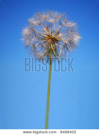 Perfect Statuesque Dandelion Clock