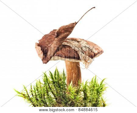 Polish Mushroom Background In The Green Grass On White Background