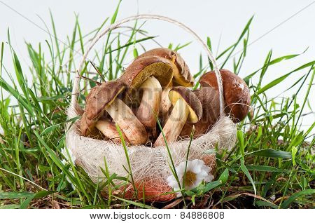 Boletus Edulis And White In A Basket In Green Grass