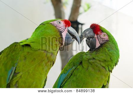Two Great Green Macaw Parrots