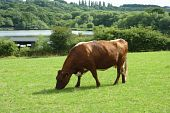 Brown and white dairy cow grazes in farmers field poster