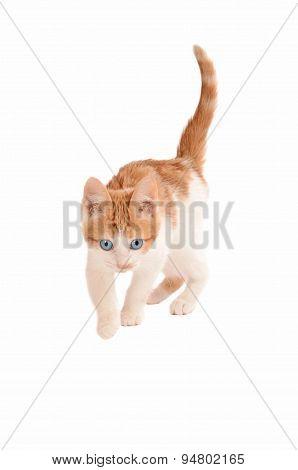 Stalking Hunting Kitten