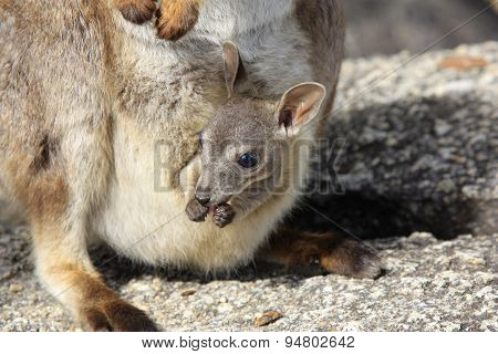 Mareeba Rock Wallabies Or Petrogale Mareeba