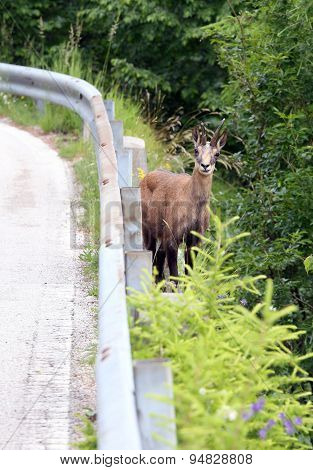 Chamois On Mountain Road With Guardrail