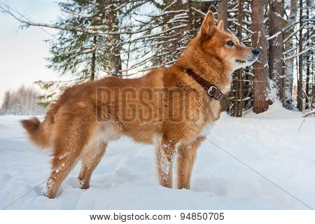 hunting dog Finnish Spitz in winter forest poster