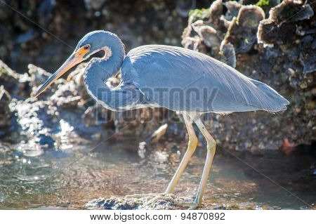 Tricolored Heron Searching For Food