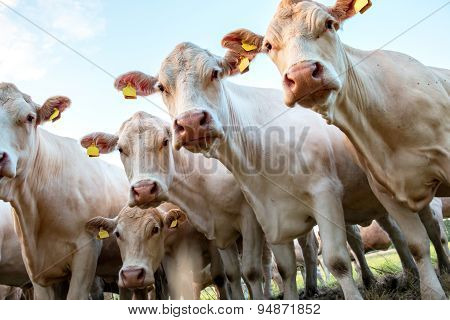 Bunch Of White Cows