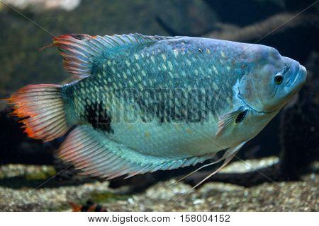 Giant gourami (Osphronemus goramy). Freshwater fish.