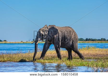 Botswana, Chobe National Park. The concept of exotic tourism. African elephant - single on a watering place in the Okavango Delta