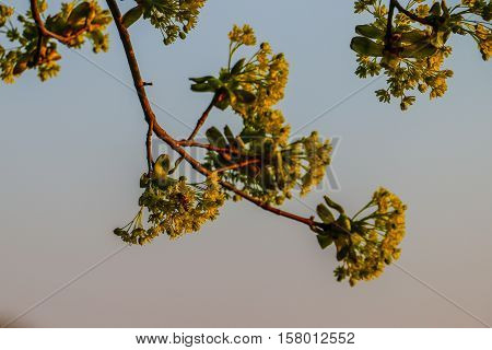 Fresh young leaves on the branch with a bee on it, floodlit with sunset.