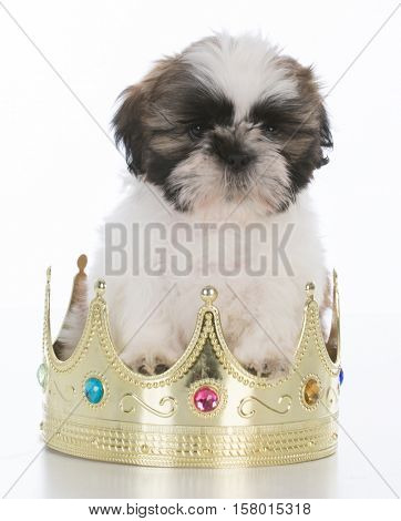 spoiled shih tzu puppy sitting in a crown on white background
