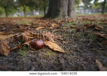 Chestnut in golden sunlight laying on forest floor between the chestnut leaves