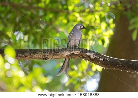 Ashy Drongo gray bird perching on tree branch in forest, Thailand, Asia (Dicrurus leucophaeus)